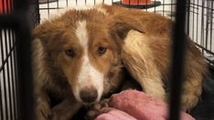 35 dogs and puppies seized from Wolfville home Dog Seizures, Psychological Well Being, Puppy Mills, Jack Russell Terrier, Newfoundland, Nova Scotia, Large Dogs, Border Collie, Rescue Dogs
