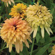 Daylilies, Hostas, Siberian Iris, Perennials and Rainbow Garden, Colorful Garden, Colorful Flowers, Beautiful Flowers, Sun Garden, Dream Garden, Sunflowers And Daisies, Rare Plants, Flower Farm