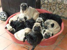 Bah Humpug! — Pile o pugs!