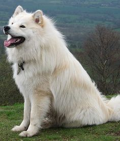 Wikimedia 10 of 14  Breed: Finnish Lapphund    Origin Story: Finnish Lapphunds were known to have helped dogs of a tribe of semi-nomadic people in Lapland (the northern region of Finland, Sweden and Russia) called the Sami.The dogs evolved from hunters into herding dogs
