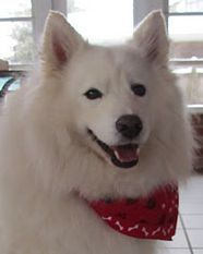 Rocky/Constant Companion is an adoptable Samoyed Dog in New Castle, DE. Rockyhas beenevaluated for the MYM Program