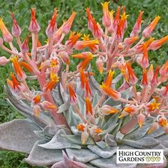 tall x wide. This beautiful native succulent plant is a wonderful rock garden species. It blooms in late spring with spikes of brilliant red-orange flowers. The plant grows like a hen and chick with silver rossetes of succulent leaves. Drought r