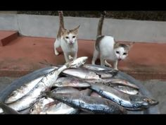2 cats eating nearly 20 raw fishes (Not even a single piece was left!) - YouTube ~ This is what our cats and dogs should be eating and how they should be eating it... instead of the pet store bought, additive filled, processed dry food that's recommended! Which is why they're getting/suffering so many different illnesses now days...and dying younger; in my opinion.