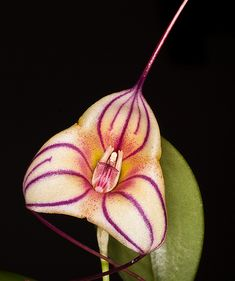 Masdevallia 'Tuakan Candy' - Flickr - Photo Sharing!