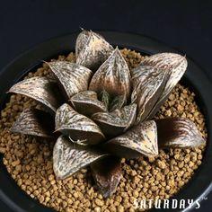 Haworthia retusa. Native to South Africa. (Succulent)