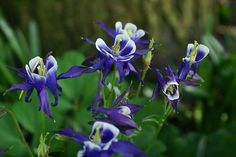 Columbine-partial to full shade