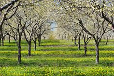 Cherry Orchard in Old Mission Peninsula , Traverse City , Michigan