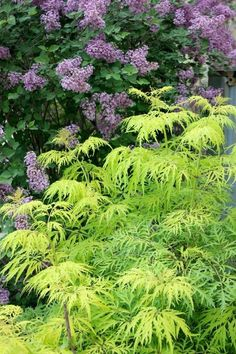 Lemony Lace is a cousin to the infamous Black Lace elderberry--offering up a bright green that will contrast nicely with the darker shades in your landscape. The deer prefer to walk past this flowering shrub when in search of their next meal which works best in part to full sun.