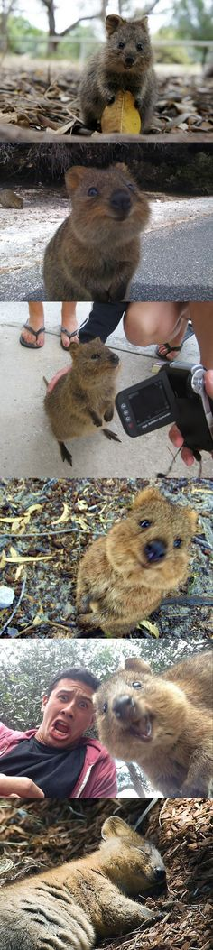 The happiest animal in the world, meet the quokka. There is no way this cute little creature does not make you want to smile. Looks like a cross between 2 of my favorite animals, koala and otters. <3