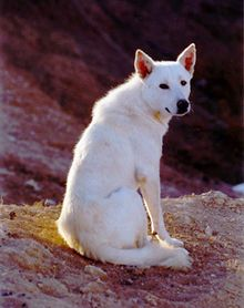 Canaan Dog - Wikipedia, the free encyclopedia Israel's official dog breed very healthy dogs no genetic problems