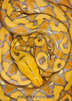 Reticulated Python (Python reticulatus) by Michael Kern