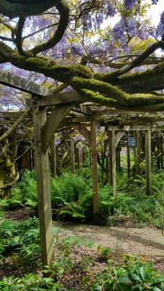Wisteria at Greys Court