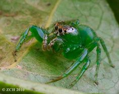 Zane's Photo Blog: Random photographs - bugs / spiders.  Green Jumping Spider