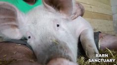Biggest and most happiest pig smile! http://ift.tt/2uOvMDN