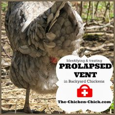 The Chicken Chick®: Prolapse Vent in Chickens: Causes & Treatment. *Graphic Photos**