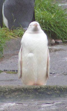 albino penguin