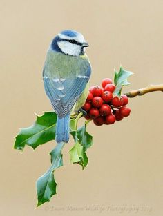 mésange bleue  dean mason on wildlife photography 20I3 blue tit collection oiseau bird vogel
