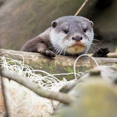 One way or an otter I'm going to find you.  #ottersofinstagram #asiansmallclawedotter #hellofromtheotterside #cute #animallovers #paws #woodlandparkzoo #tuesdayfeels #smol #adorable #animal #animales