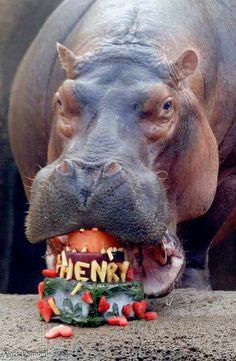 Baby Fiona's Daddy, Henry @ the Cincinnati Zoo
