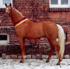 Hengste vom Altmarkhof - Wolkenwind - Dutch Warmblood Dutch Warmblood, Warmblood Horses, Palomino, All The Pretty Horses, Beautiful Horses, Golden Horse, Boy Poses, Equine Art, Gold Rush