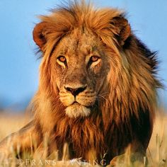@FransLanting I post this in memory of Cecil the Lion, who was recently killed by an American trophy hunter.