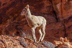 https://flic.kr/p/SHJiPn | Morning Hike | Morning Hike   Desert Big Horn Sheep Lamb Valley of Fire State Park Overton, Nevada