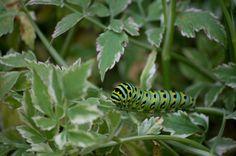 Swallowtail larvae on water celery
