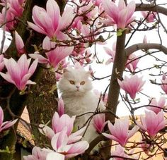 kitty on a magnolia tree - Cats Wallpaper ID 1971841 - Desktop Nexus Animals Pretty Cats, Beautiful Cats, Crazy Cat Lady, Crazy Cats, Kittens Cutest, Cats And Kittens, Cat Flowers, Magnolia Trees, Cat Wallpaper