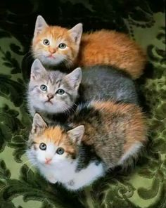 Animals Discover Three Adorable Kitties in need of love. Three Adorable Kitties in need of love. Cute Cats And Kittens Cool Cats Kittens Cutest I Love Cats Crazy Cats Super Cute Kittens Animals And Pets Baby Animals Funny Animals Cute Cats And Kittens, I Love Cats, Crazy Cats, Cool Cats, Kittens Cutest, Fluffy Kittens, Pretty Cats, Beautiful Cats, Animals Beautiful