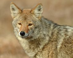 Coyote  (Alpha Male) | Flickr - Photo Sharing!