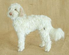 Yindi the Labradoodle: Needle felted animal sculpture by Megan Nedds of The Woolen Wagon