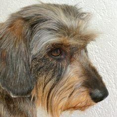 Miniature Wire Haired Dachshund on Pinterest | Wire Haired Dachshund ...