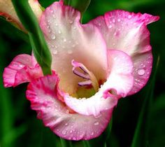 August Birth Flowers On Pinterest Birth Flowers Gladiolus Tattoo And October Birth Flowers