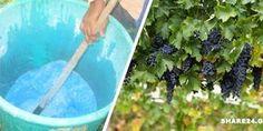 Βορδιγάλειος Πολτός ( Γαλαζόπετρα με ασβέστη) – Πώς να το Φτιάξετε και πώς να το Εφαρμόσετε στο Αμπέλι και σε Άλλες Καλλιέργειες -idiva.gr Gardening Tips, Home And Garden, Nature, Flowers, Plants, Homework, Garden Ideas, House, Home