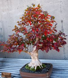Crape Myrtle Bonsai