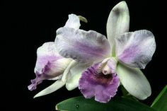 BLC Blue Grotto 'Takagi' (BLC Victoria x LC Blue Boy) Orchid Plant [CAT035] http://www.larrysorchidsstore.com/servlet/the-1140/BLC-Blue-Grotto-%27Takagi%27/Detail