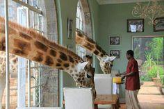 Giraffe Manor...