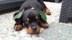 Rottweiler puppy Louie 9 weeks old