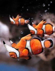 Rhino clownfish