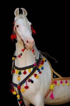 A white Marwari horse from India.