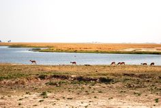 Chobe River, only water-source for the Wildlife