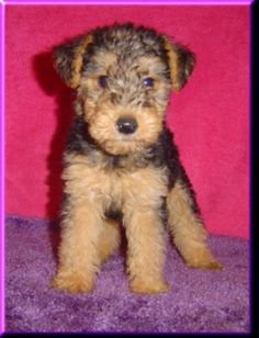 I really, REALLY want a Welsh Terrier (and a real house for her... and me... and Scott too, I guess)