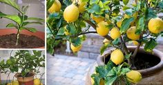 How to grow your own lemon tree! Even in northern climates and in the dead of winter, a productive lemon tree can be growing inside of your home or garage. Organic Gardening, Gardening Tips, Gardening Vegetables, Lemon Tree From Seed, Lemon Plant From Seeds, How To Grow Lemon, Grands Pots, Lemon Uses, Comment Planter