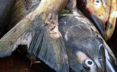 Pêche et cuisine au saumon à Murakami (préfecture de Niigata) #cuisine #Japon #Murakami