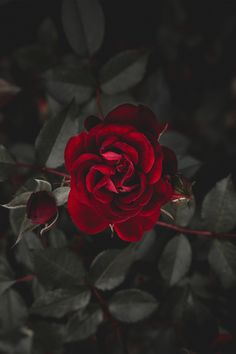 Wall paper red flowers beautiful roses ideas for 2019 Tumblr Wallpaper, Nature Wallpaper, Wallpaper Backgrounds, Dark Red Wallpaper, Mobile Wallpaper, Landscape Wallpaper, Animal Wallpaper, Colorful Wallpaper, Galaxy Wallpaper