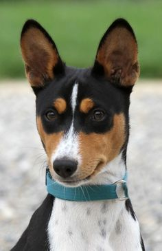 Jack Terrier, Rat Terrier Dogs, Boston Terrier, Basenji Puppy, Funny Animals, Cute Animals, Dogs And Puppies, Doggies, Hunting Dogs