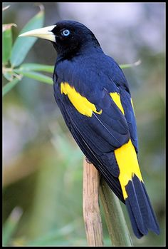 Yellow-rumped Cacique breeds in much of northern So. America from Panama and Trinidad south to Peru/ Bolivia/ central Brazil.