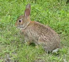 rabbit recipes - Wild Life Recipes. Also main index leads to links for deer, squirrel, quail, turkey. As well as other wild game that I won't be hunting