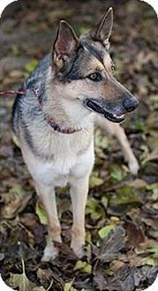 Pictures of Cocoa a German Shepherd Dog for adoption in Visalia, CA who needs a loving home.