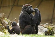 Deux #gorilles, Sheila et sa fille Sawa, au ZooParc de Beauval.